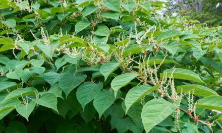 Invasive Japanese knotweed deters vast majority of home buyers, new survey confirms