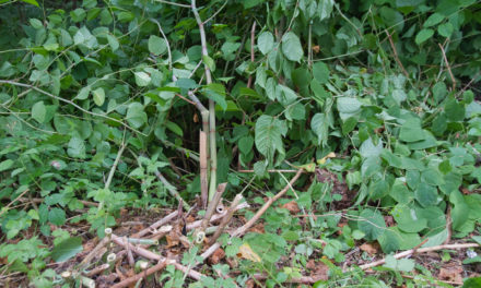 Conveyancing solicitors urged to pose Japanese Knotweed question on new home purchases