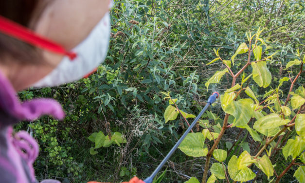 Why is Japanese knotweed a problem?