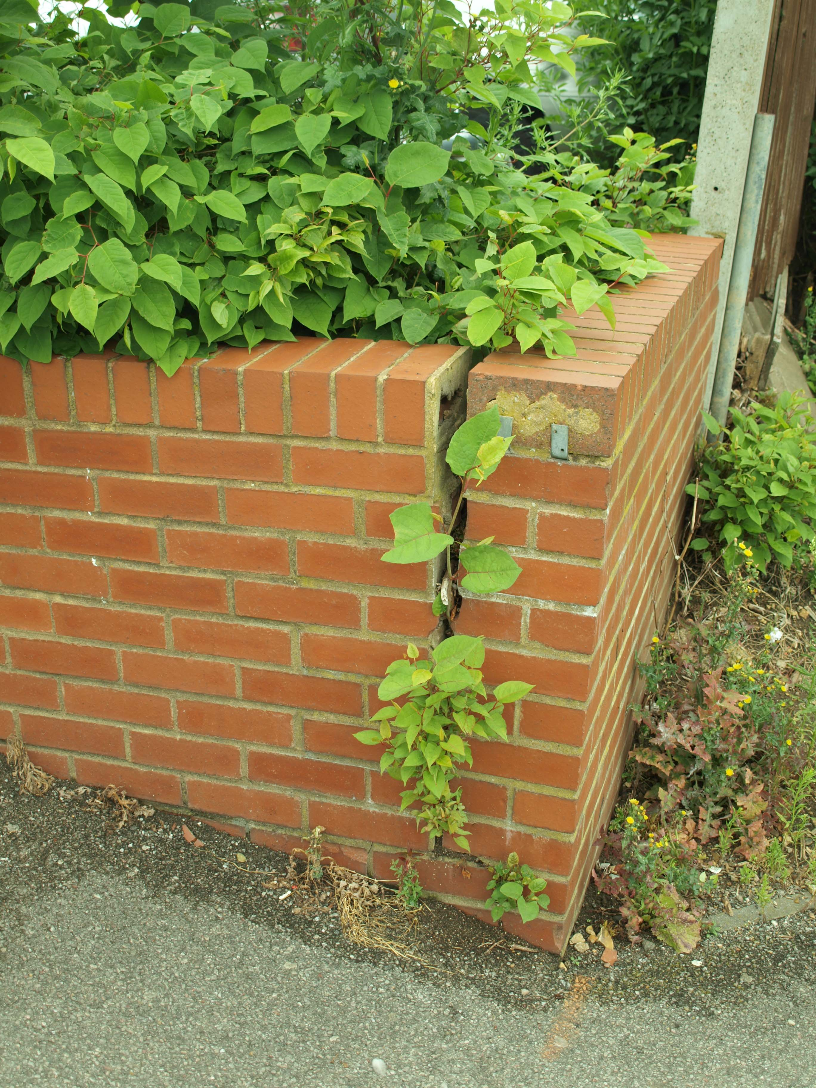 Trade body support for new research into Japanese knotweed