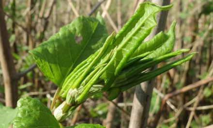 Swansea University Japanese knotweed trials do not tell the full story