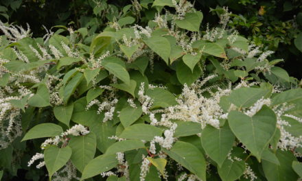 Environet develops new tool for assessing Japanese knotweed risk