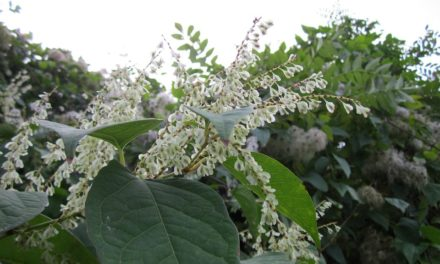 Fewer than one fifth of people in Britain can identify Japanese knotweed