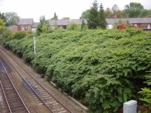 Japanese knotweed will be brought under control by 2040