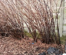 Buyers beware of Japanese knotweed risk in rush for completion