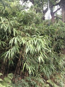 Garden centres urged to place warnings on invasive bamboo