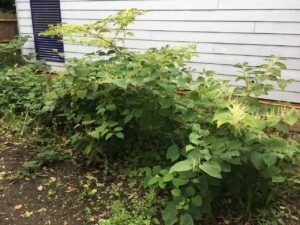 Buyers pay price of stamp duty holiday rush as Japanese knotweed claims rise